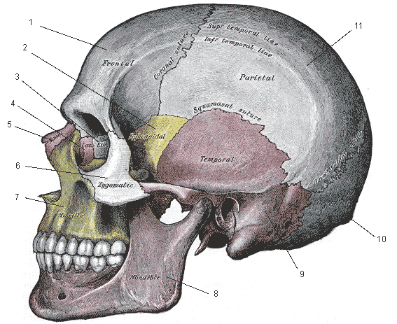 Gray188_skull_left_lateral_index