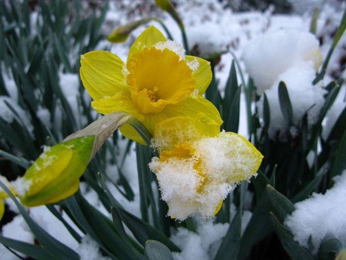 1280px-Snow-daffodil-spring-flower-yellow1_-_West_Virginia_-_ForestWander