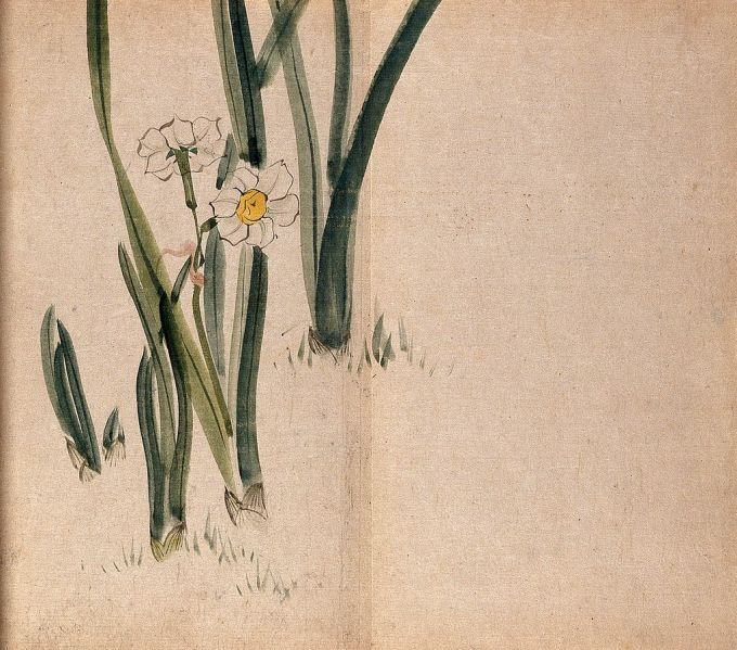 Daffodil_(Narcissus_species);_flowering_plants_in_grass._Wellcome_V0043790