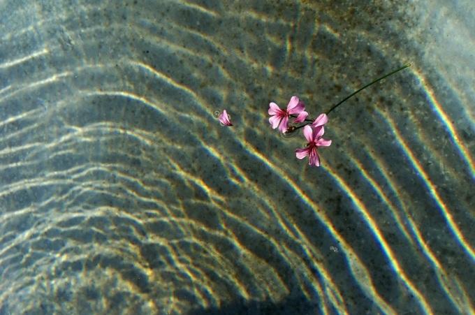 Blume_im_Wasser_03