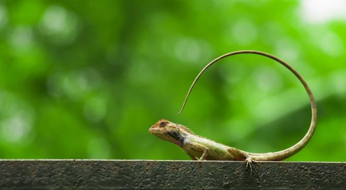Oriental_Lizard_RESIZED