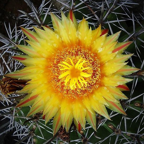600px-Cactus_Flower1