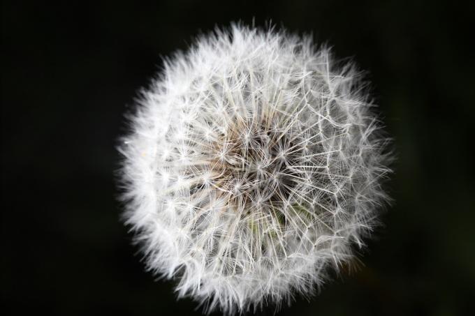 DandelionDandelion