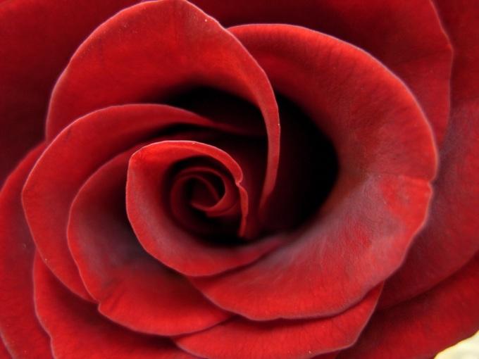 Soft_Red_Rose